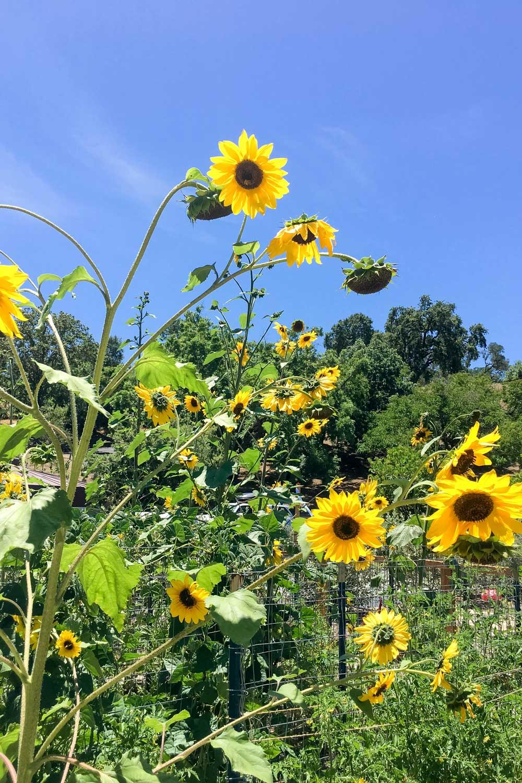 B Cellars Garden Sunflowers