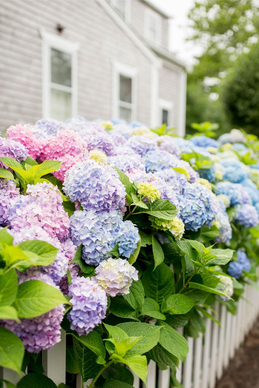 Nantucket Best Hydrangea