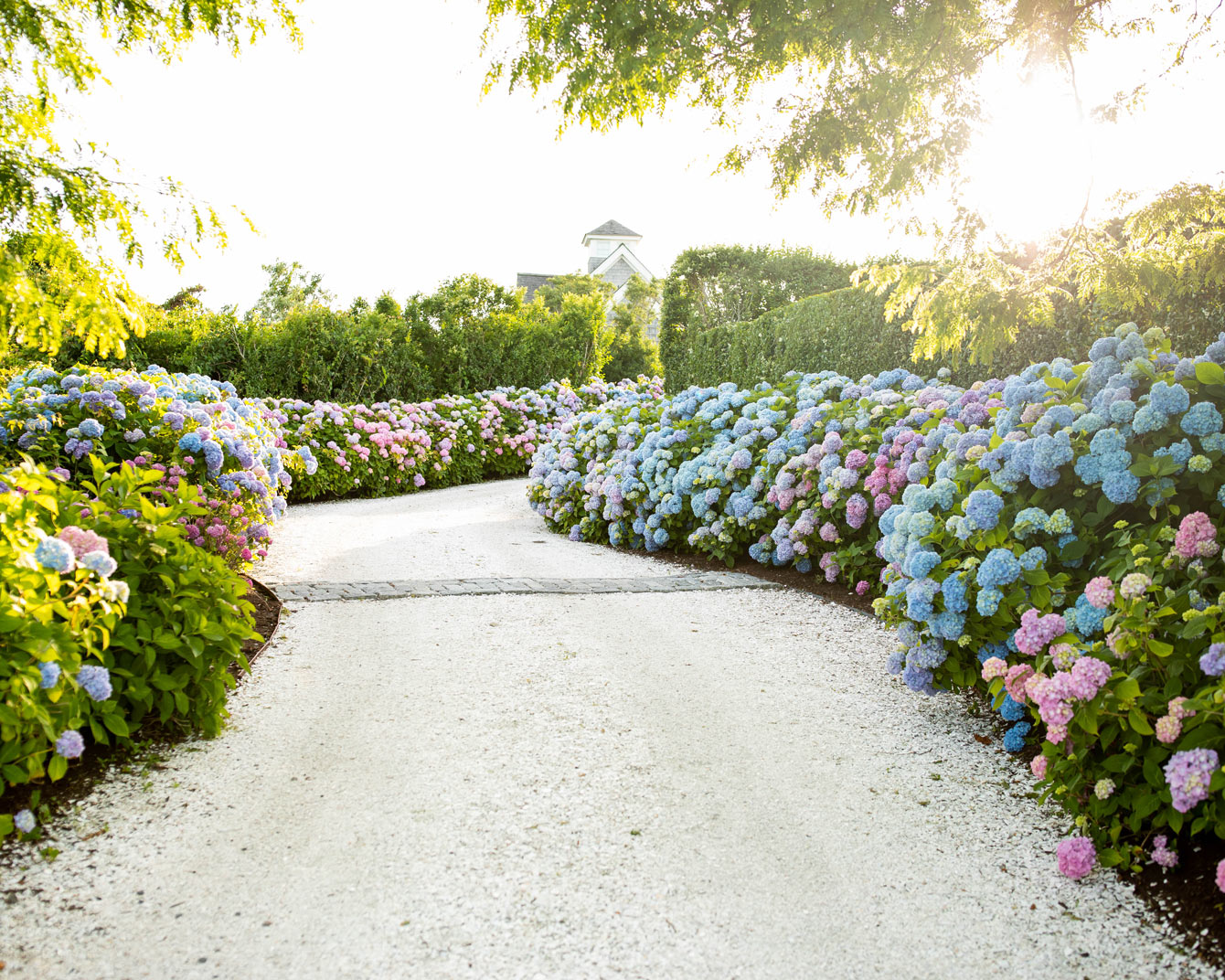 Best Hydrangea Bushes Nantucket