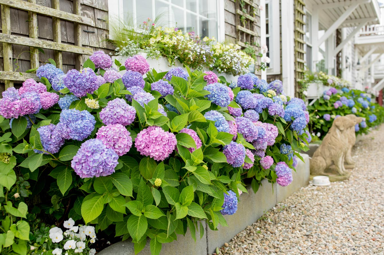 Nantucket Best Hydrangeas
