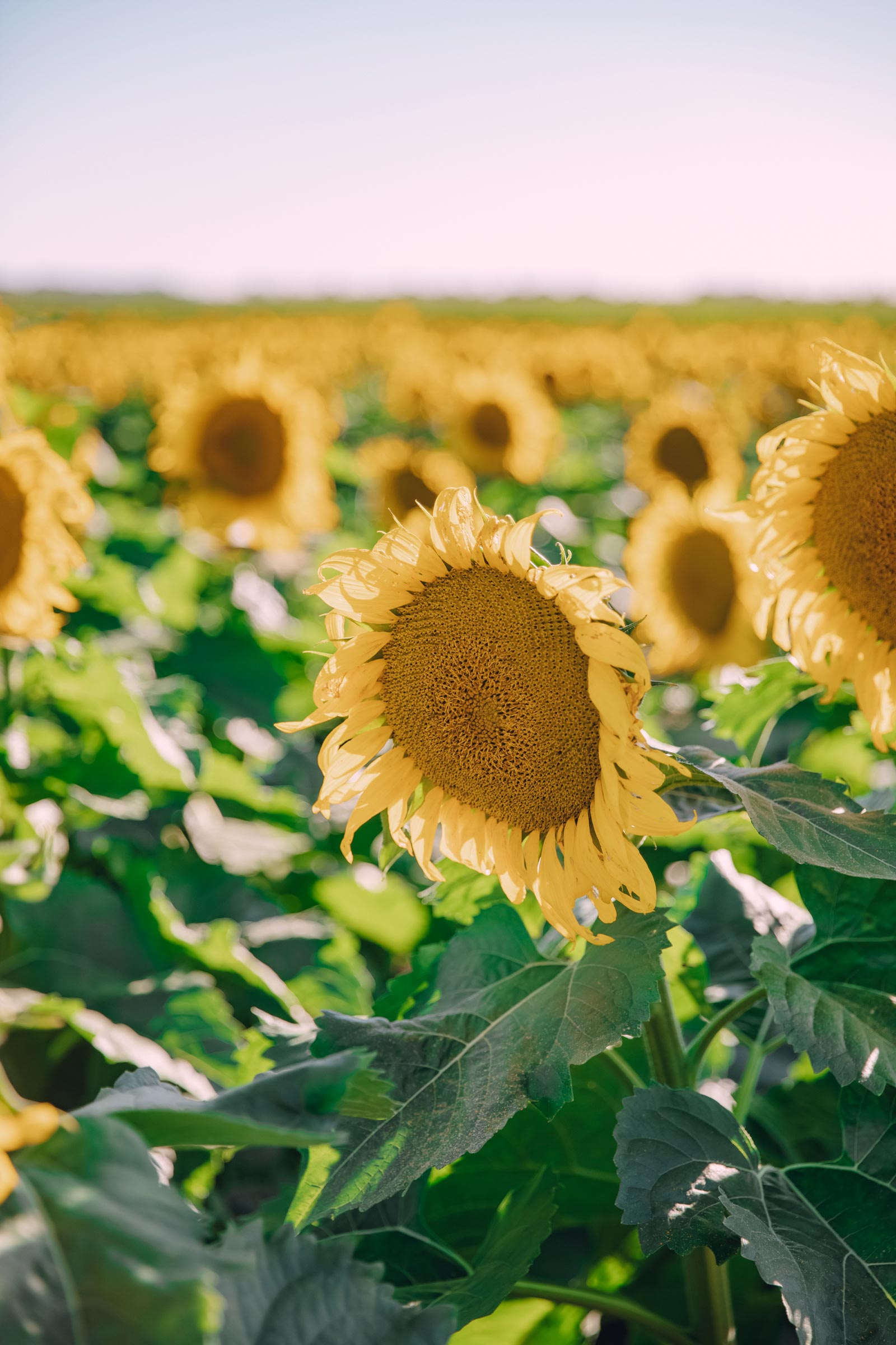 illinois lake county sunflower farm