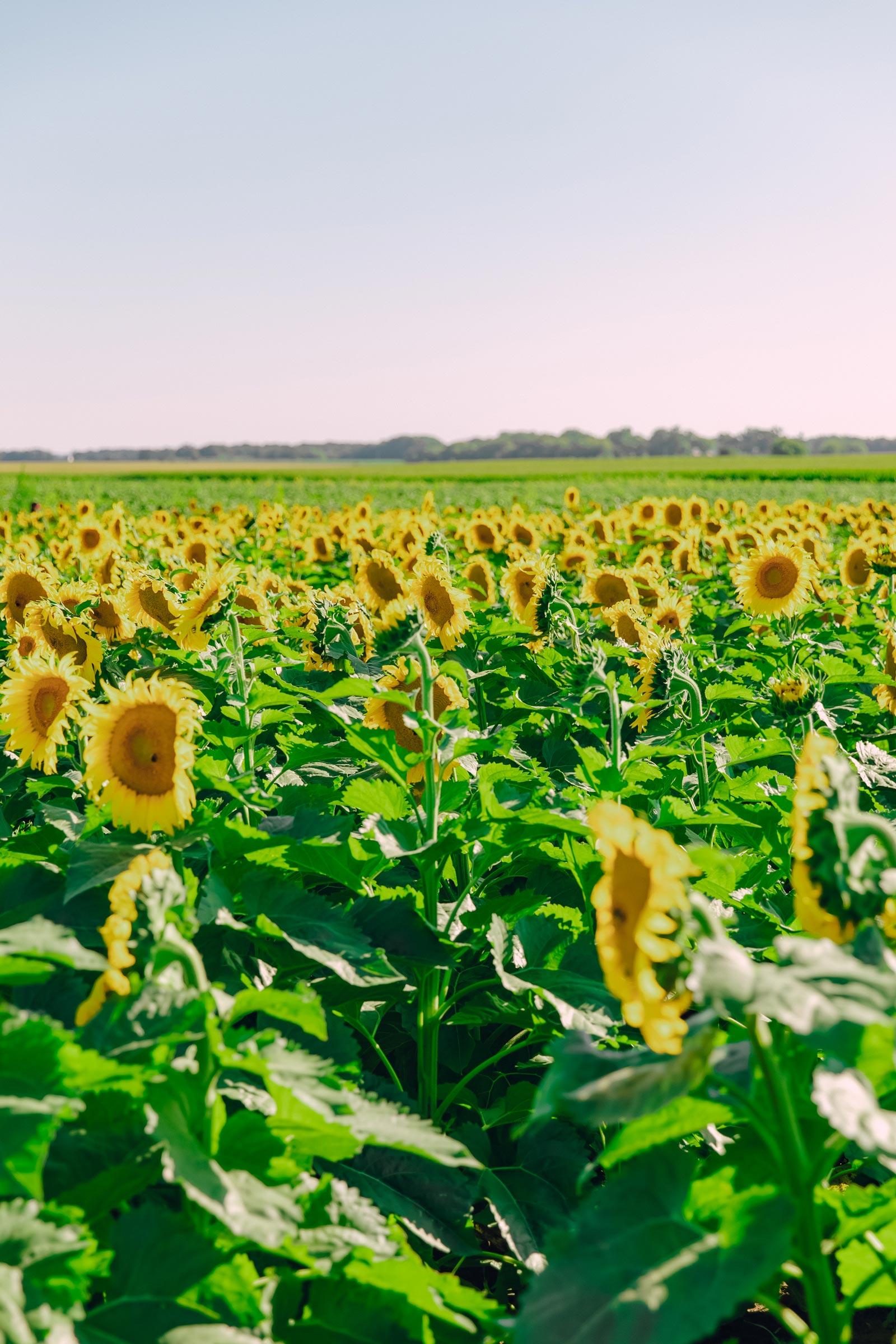 sunflower field illinois